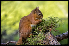 IMG_0121 Red Squirrel (Scotchjohnnie) Tags: redsquirrel sciurusvulgaris squirrel squirrelphotography rodent mammal wildanimal wildlife wildlifephotography wildandfree nature naturephotography naturewildlifeandbirds canon canoneos canon7dmkii canonef100400f4556lisiiusm scotchjohnnie