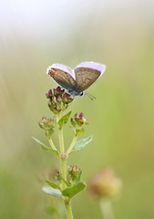 Common Blue / icarusblauwtje (douwesvincent) Tags: blue green world nature eco photo beauty flying wingd europe flower nectar drinking love orange plant light air animal antenna smell drinks natural wild adventure exploring camping holiday vacation experience jiy fun