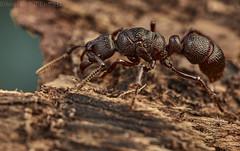Ponerine ant (pbertner) Tags: rainforest drc congo democraticrepublicofcongo virunga nationalpark africa ant