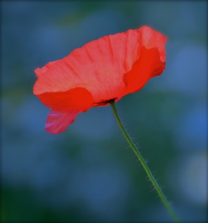 Soft Red Poppy
