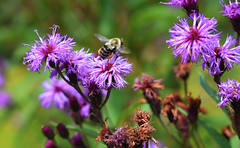 Bee on Purple Flower (JayRose05) Tags: purple flowers bee insect pollen nature outdoor naturallight nikon beautiful photography