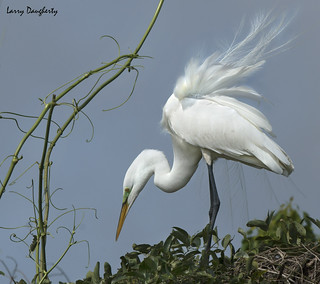 Great egret ........D800