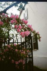 Charleston (Vincent F Tsai) Tags: film analog 35mm kodak minolta flowers street rain mood scan fence charleston sc tree travel