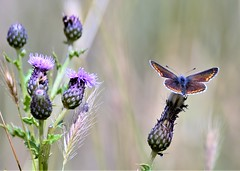 This-tle do. (pstone646) Tags: blue butterfly nature insect wildlife animal fauna flora thistle flower bokeh sunshine purple kent flowers wildflowers