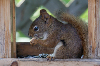 Écureuil roux, Red squirrel, PQ, Canada - 5469
