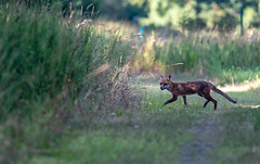 always happy to see a fox (long.fanger) Tags: centreville virginia redfox utilityeasementarea
