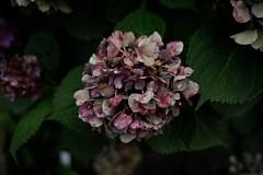 Hydrangea (askhb55) Tags: 3300 d3300 ncsu jcraulston raleigh nikon hydrangea flower plant multicolor colorful arboretum flowers