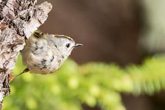 Regulus regulus japonensis (uko2) Tags: bird canonflickraward canoneos7dmark sigma150600 sigma greatphotographers