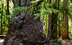 Find Hope ♥ (HW111) Tags: hope trees cathedralgrove firs vancouverisland giant douglasfir ancient