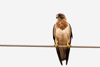 Adult Light Morph Swainson's Hawk