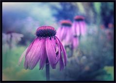Happy Birthday 🍰🍭🍬🎂 (zdm69) Tags: flower birthday happy blumen pink 7dwf