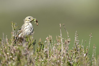 _DSC9479 Meadow Pipit with caterpillars in Angus Glens
