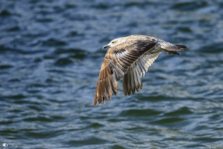 Seagull fly by