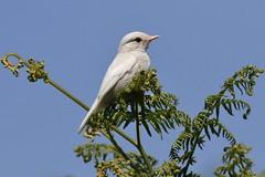 White Stonechat (Saxicola rubicola Albino) (Fly~catcher) Tags: white albino stonechat saxicola rubicola fern bracken sky northyorkshire
