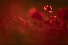 Poppy Field (Daniel Trim) Tags: poppy poppies wild flower wildflower meadow summer bedfordshire pegs don hills pegsdon papaver rhoeas common field fields grass park tree garden