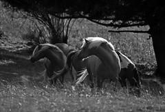 THE HERD (LitterART) Tags: haflinger pferde horses nikon d800 nikond800 fx
