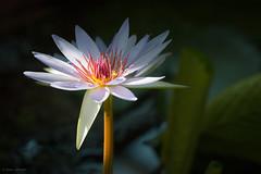 Rise and Shine (Susan.Johnston) Tags: thecalgaryzoo flower garden waterlily botanicalgardens