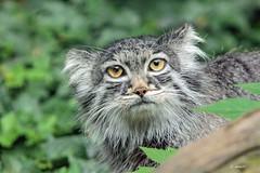 Pallas's Cat  (f) (K.Verhulst) Tags: manoel manul pallasscat pallascat cats cat kat blijdorp blijdorpzoo diergaardeblijdorp