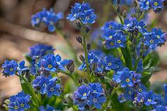 remember me (forget me not) (ralfkai41) Tags: makro forgetmenot pflanzen vergismeinnicht flowers plants blossom garten macro outdoor garden blüten natur blumen