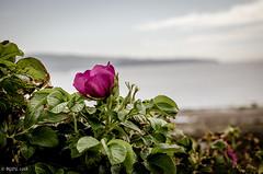 Rose-hip (BGDL) Tags: lightroomcc nikond7000 bgdl landscape nikkor55200mmf4556g seascape bush rosehipflower rosehip beginswithf week26 weeklytheme flickrlounge