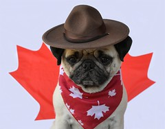 Happy Canada Day! (DaPuglet) Tags: pug pugs dog dogs animal animals pet pets canada canadian canadaday celebration party flag mapleleaf canuck mountie royalcanadianmountedpolice patriotic country 2018 hat coth mountiehat bandana coth5