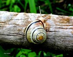 macro (verridário) Tags: caracol sony natura nature naturaleza animal natureza macro madeira grama mini lento snail escargot schnecke 蝸牛 σαλιγκάρι lumaca カタツムリ улитка salyangoz makro マクロ макрос