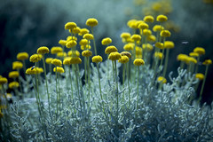 sweet colours of the nature (cagdas topcu) Tags: colors istanbul background daisy yellow blue grass sony a7r sonya7r 90mm fullframe light sunlingt bokeh boke tones lovely sunny nature street green peace