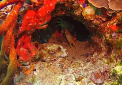 Lurking (zoniedude1) Tags: mexico scubadiving coralreef lurking crab invertebrates sponges coralcave westindianspidercrab mithraxspinosissimus channelclingingcrab crabinacave reefspidercrab spinyspidercrab coralcrab decapoda crustacean fishyplace coral reef underwater sabalosreef ocean sea wildlife coralformations reefcave scuba diving mesoamericanbarrierreef caribbean 55ftdown playadelcarmen mexicanrivieraexpedition2018 nature wild submerged exploration adventure sealifemicro20 pspx9 zoniedude1 earthnaturelife