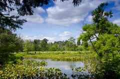 Kenilworth panorama (Tim Brown's Pictures) Tags: nationalparkservice kenilworthaquaticgarden aquaticplants washingtondc blossom flower landscape scenic blueskies panorama washington dc unitedstates