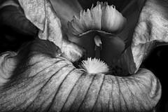Inside The Mouth Of The Iris Cave in Black And White (Bill Gracey 20 Million Views) Tags: rebloomer iris fleur flower flor blackandwhite noiretblanc blancoynegro yongnuo yongnuorf603n homestudio sidelighting filllight macrolens floralphotography shapes textures art lakeside lastoliteezbox softbox