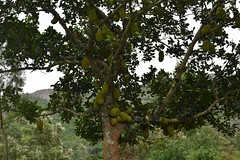 Jackfruits in the Araku Valley (basudevtvnews) Tags: forest food jackfruit
