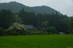 A farmhouse with chestnut trees (reikonakamura) Tags: tree forest paddy field landscape mountain