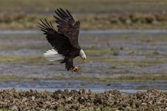 Eagle Landing IV (elliott845) Tags: baldeagle haliaeetusleucocephalus birdinflight nature predator raptor eagle