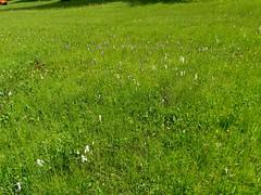 """Flora im Balderschwanger Hochtal (warata) Tags: 2018 deutschland germany süddeutschland southerngermany schwaben swabia oberschwaben upperswabia schwäbischesoberland bayern allgäu bayerischesallgäu alpenvorland balderschwang oberallgäu hochtal wiese wildpflanzen wildblumen bayerischesallgaeu """"sony dschx400v"""""""