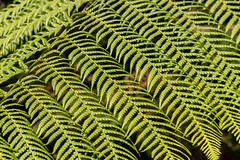 Herringbone pattern (Keith in Exeter) Tags: fern frond plant leaf foliage pattern herringbone green nature nationaltrust coletonfishacre garden kingswear devon explore