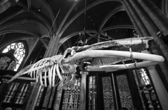 Whale (albireo 2006) Tags: whale skeleton stbavo'scathedral ghent gent finbackwhale sintbaafskathedraal blackwhitephotos blackandwhite blackandwhitephotos blackwhite bw bn belgium whaleskeleton