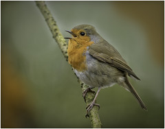 Robin (Charles Connor) Tags: robin europeanrobin birdphotography colourfulbirds naturephotography nature wildlifephotography wildlife canondslr