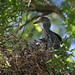 Yellow-crowned Night-Heron (Nyctanassa violacea), two juveniles on a nest