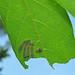 Larval lepidopterans on buttonbush leaf (Newark, Ohio, USA) 1