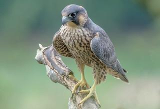 DSC8134  Peregrine Falcon..