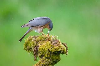 Male Sparrowhawk feeding in the Rain