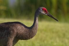 IMG_6572 Florida Sandhill Crane (cmsheehyjr) Tags: cmsheehy colemansheehy nature wildlife bird crane sandhillcrane floridasandhillcrane floridasubspecies gruscanadensispratensis