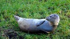 seal along the crana river (patrickcolhoun) Tags: seal cranariver donegal ireland nature animal wildlife buncrana ulster