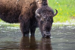 Thirst quencher (ChicagoBob46) Tags: bisoncow bison cow yellowstone yellowstonenationalpark nature wildlife ngc coth5 npc