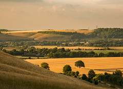 Evening sunlight on fields near East Meon 702_003 raw crop (ant55y76) Tags: sunset light sunshine evening fields tree corn east meon hampshire south downs