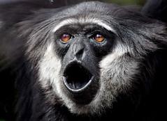 Expressions of an Agile Gibbon - Monkey World in Dorset. (One more shot Rog) Tags: monkeys monkey primates ape apes hairy monkeyworld animals nature humanlike endangered