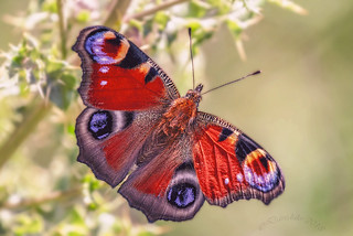 Peacock Butterfly, Aglais io