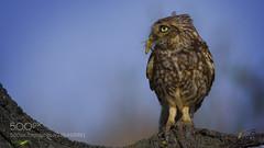 Snack for Little Owl (KevinBJensen) Tags: little owl carlos santero photography canon nature wwwcarlossanterocom photo fineartphotography wildlife steinkauz athene noctua pequeño búho mochuelo carlossantero athenenoctua pequeã±obãºho littleowl