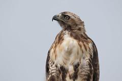 _D2_8137.jpg (rdelonga) Tags: buteojamaicensis redtailedhawk