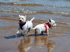 Cooling down at the coast (Artybee) Tags: samson sunny fun beach sea splash westie westitude west highland white do lincolnshire mablethorpe